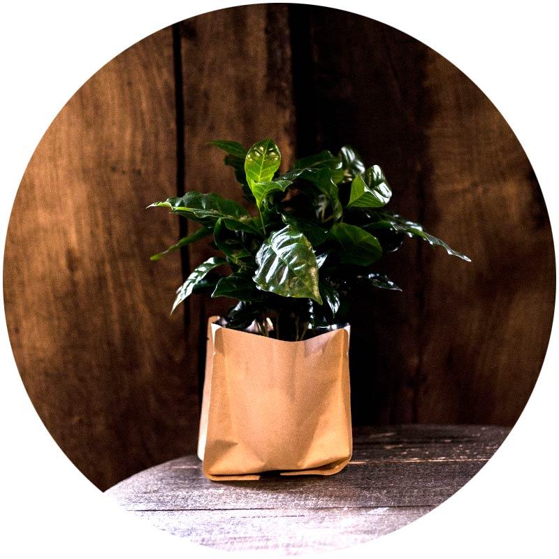 Kaffee Pflanze